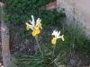 25-Iris[1600x1200]